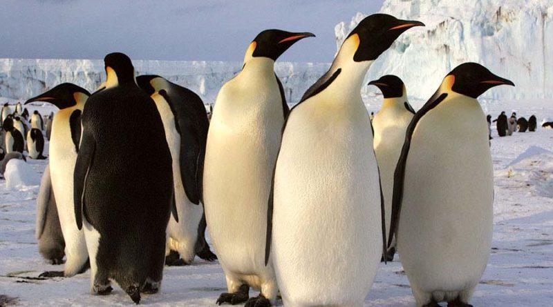 Как-пингвины-передают-друг-другу-информацию