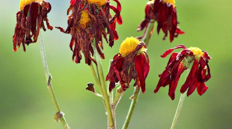 Почему-растения-увядают