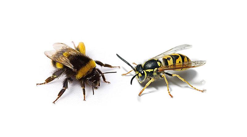 разница меду пчелой и шмелем