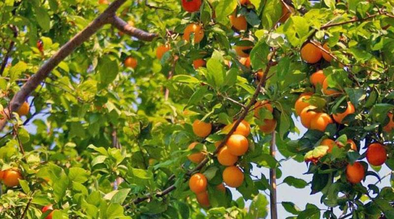 разница между абрикосом и жерделой