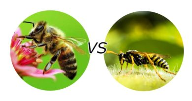 В-чем-разница-между-пчелой-и-осой