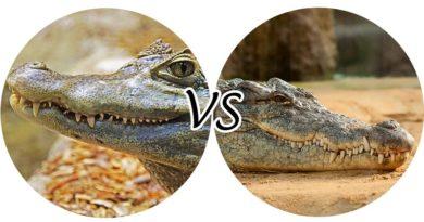 аллигатор-и-крокодил