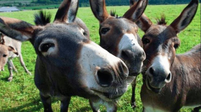 в чем разница между ослом и ишаком