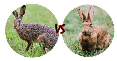 В чем разница между кроликом и зайцем