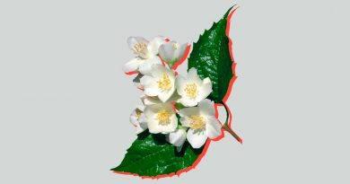 жасмин и чубушник разница